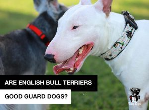 Are english bull terriers good guard dogs?