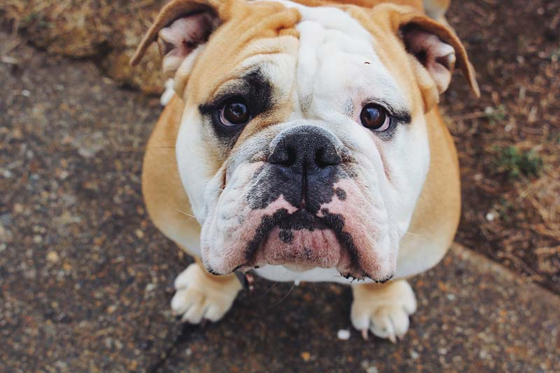 Bulldog as ancestor of english bull terrier