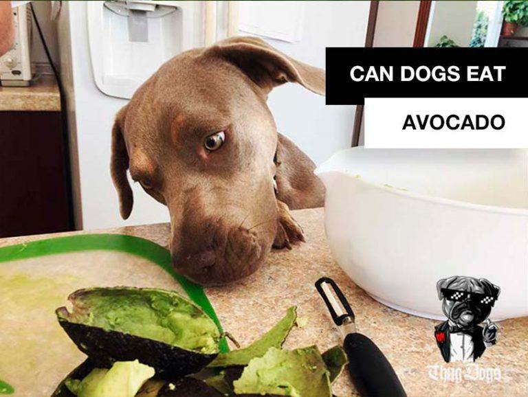 Can dogs eat avocado? Dog sniffing avocado