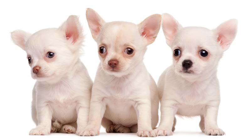 3 Chihuahua Puppies of white color
