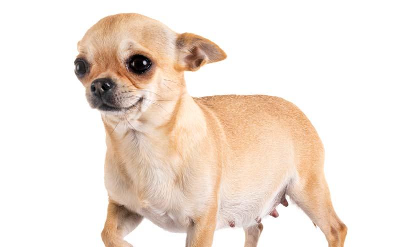 Chihuahua Pregnancy Milk Fever