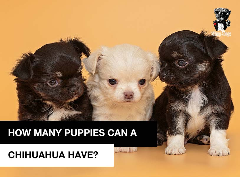 How Many Puppies Can A Chihuahua Have In A Litter?