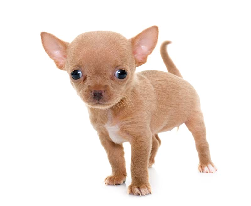 Chihuahua puppy brown color