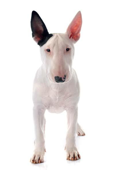 Puppy english bull terrier