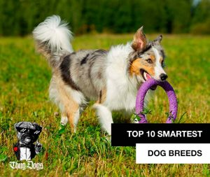 Top 10 smartest dogs and dog breeds