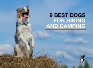 9 best dogs for hiking and camping
