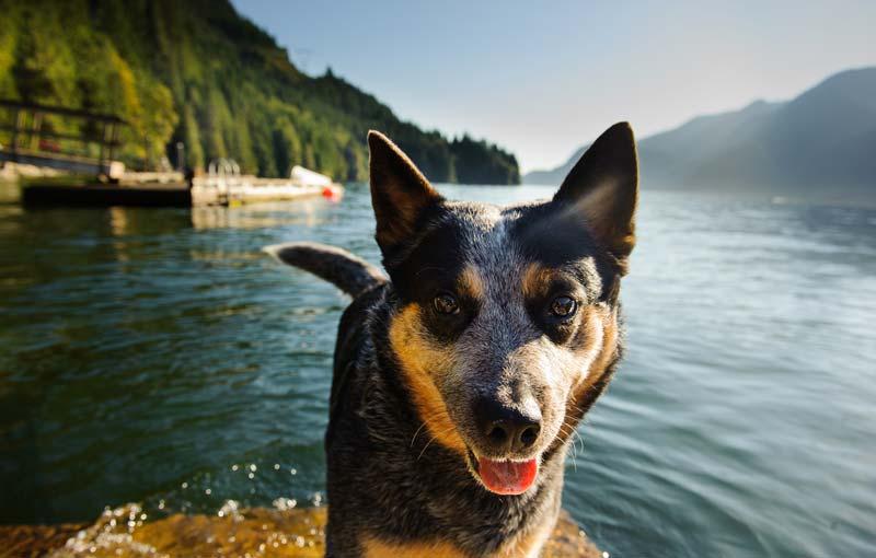 Australian Cattle dog on a dog trip