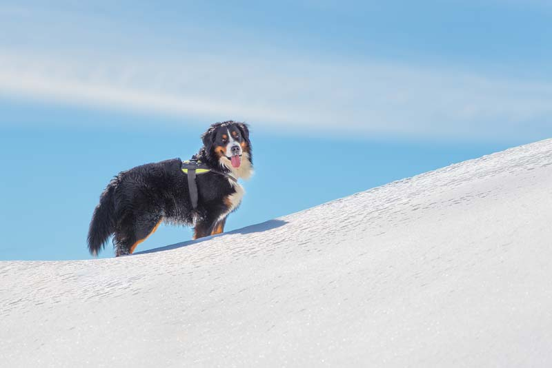 Bernese Mountain Dog with hiking harness