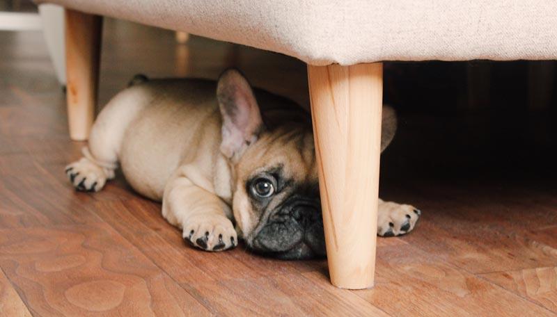 Cute puppy French Bulldog