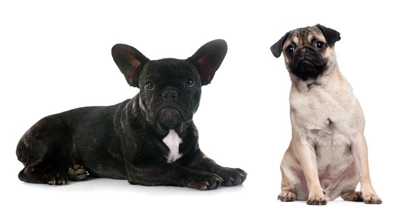 French Bulldog versus Pug