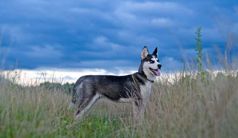 Hiking with Siberian Husky