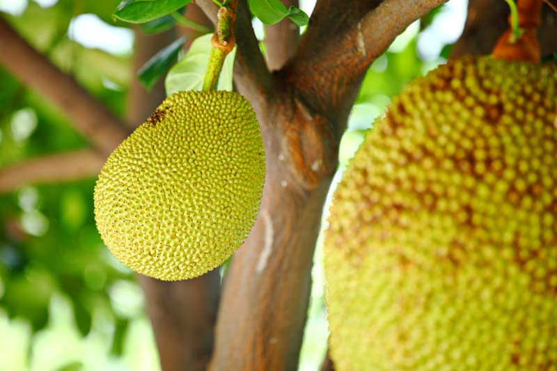 Jackfruit - is it safe for dogs?