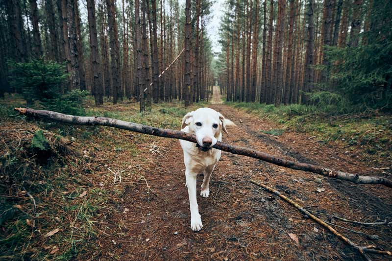 Labrador Retriever on a hike carrying stick in mouth