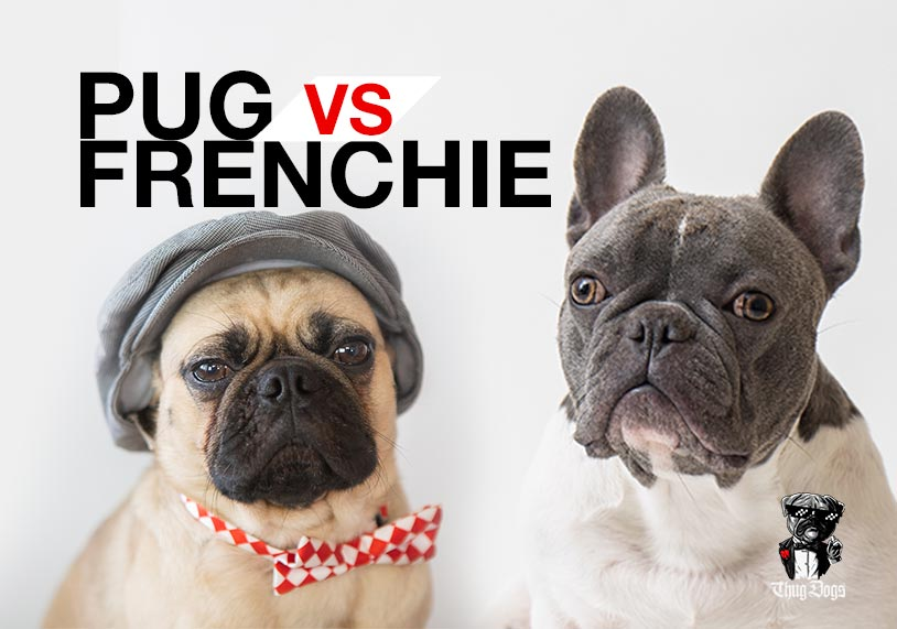 Pug vs Frenchie. Which one is better?