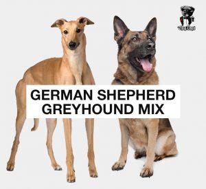 German Shepherd Greyhound Mix