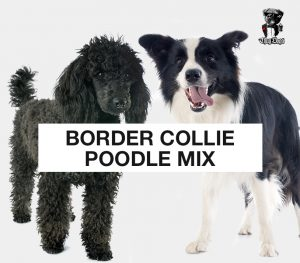 Bordoodle mix - mix of Border Collie and Poodle