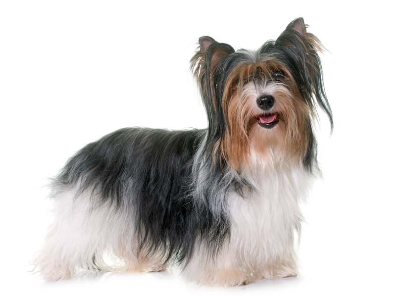 "Biewer Yorkshire ""Yorkie"" Terrier"