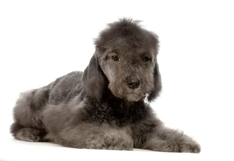 Black beddlington terrier