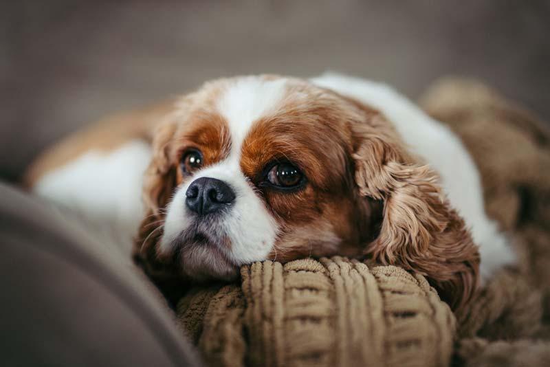 Cavailer king charles spaniel dog