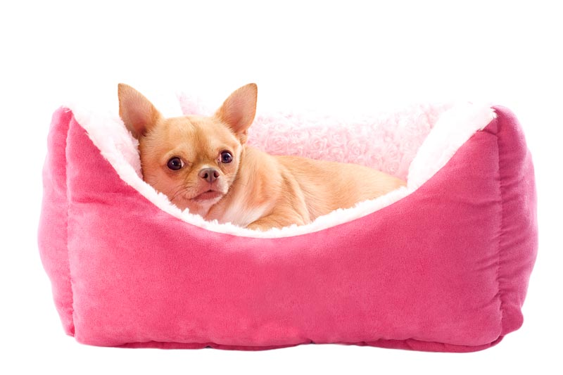 Chihuahua in a self warming dog bed