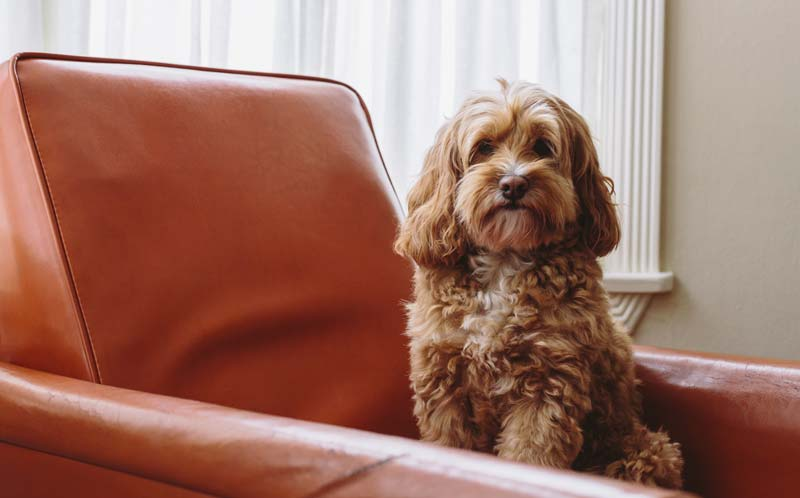 Cockapoo mixed breed dog between a cocker spaniel and poodle