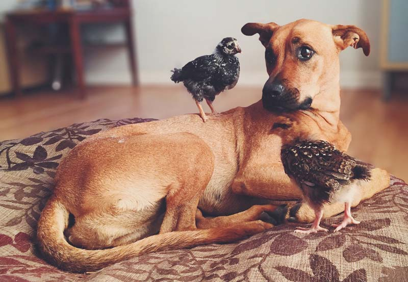 Dog with baby chickens