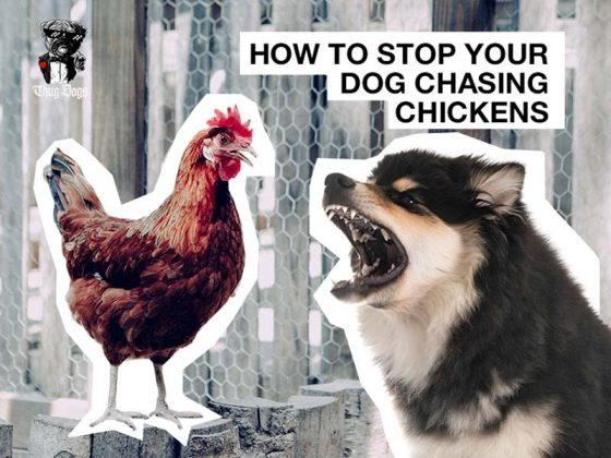 How to stop your dogs chasing chickens