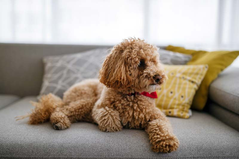 Little dog poodle on couch waiting for his senior owner