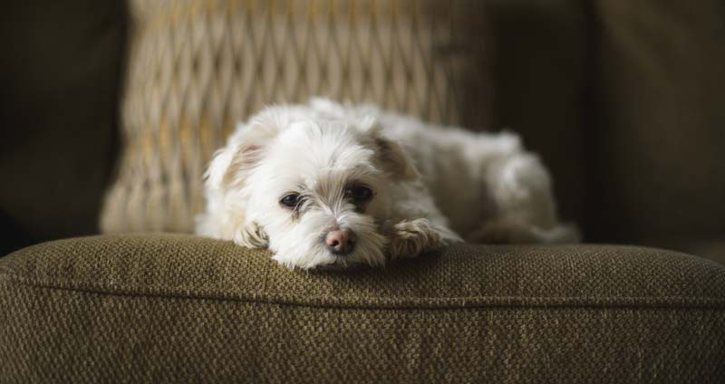 Maltese dog laying on couch
