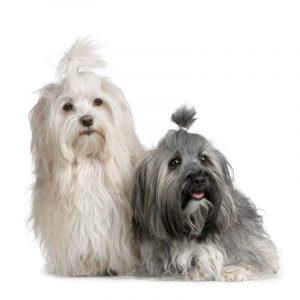 Pair of Havanese dog suitable for older people