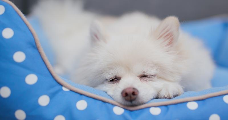 Pomerian dog sleeping calmly