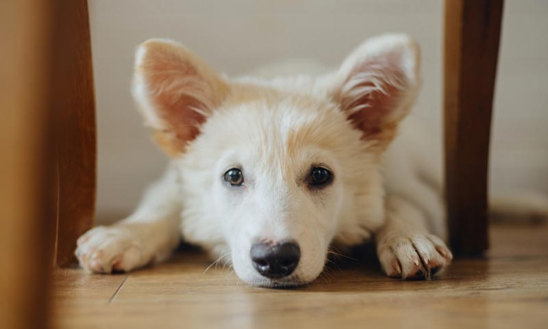 Scared anxious puppy lying on the floor
