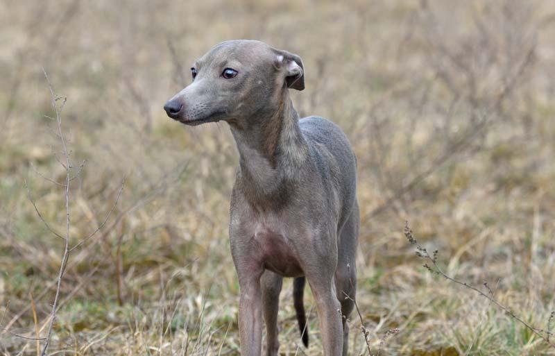 Senior Italian Greyhound