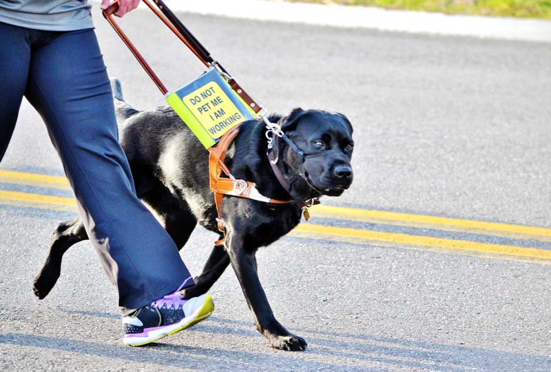 Service dog for seniors on a leash