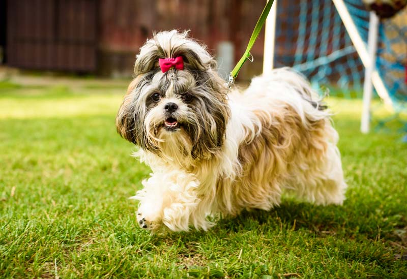 Shih Tzu dog with red bow on head