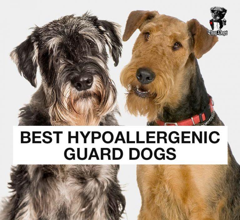 13 best hypoallergenic guard dogs
