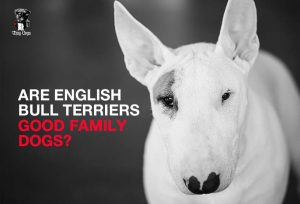 Are English Bull Terriers Good Family Dogs?