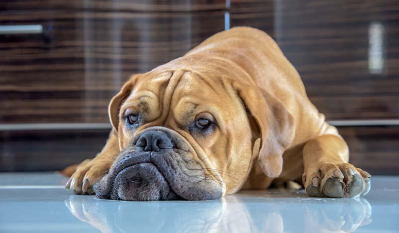 Bullmastiff exercise - tired dog