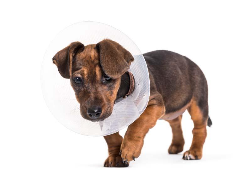 Dachshund needs a dog brace after the surgery