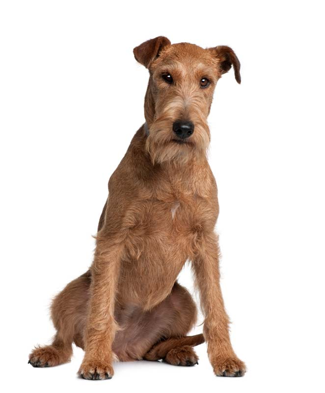 Hypoallergenic Guard Dog - Irish Terrier