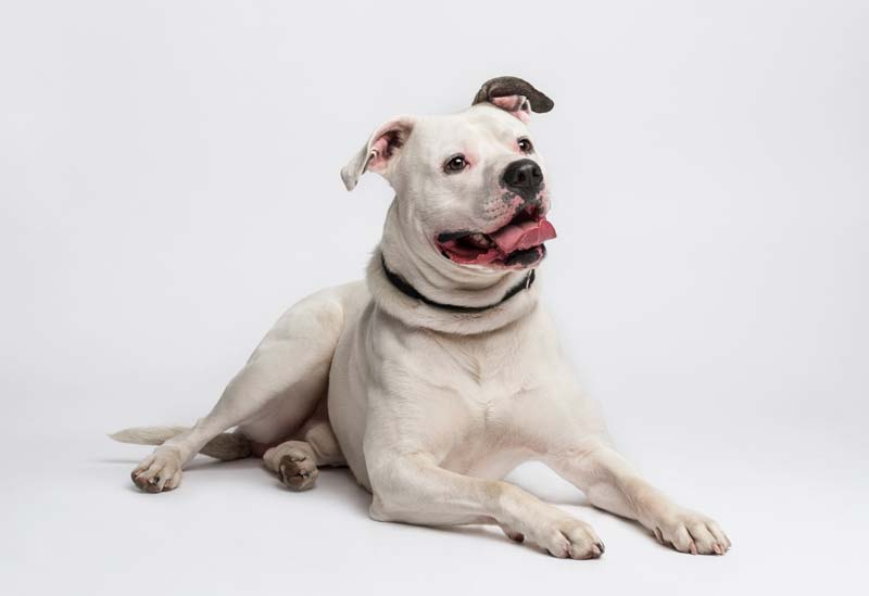 Is American Bulldog right for you?