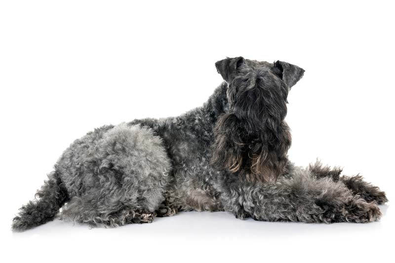 Kerry Blue Terrier is a good guard dog