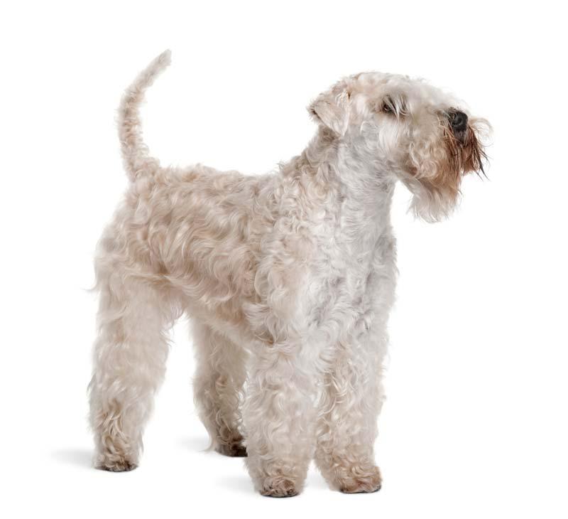 Soft coated hypoallergenic Wheaten Terrier
