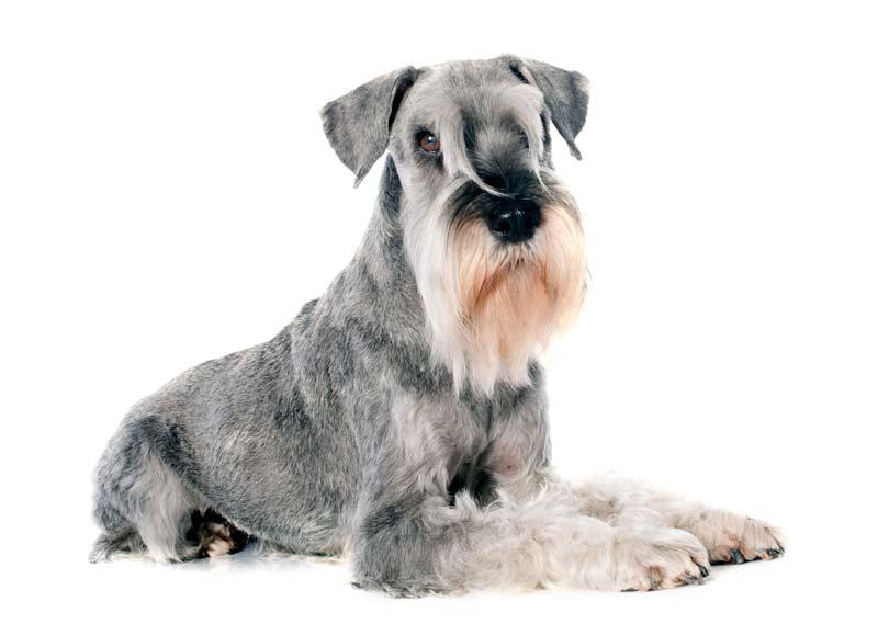 Standard Schnauzer Hypoallergenic guard dog