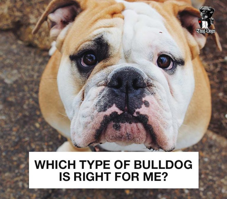 Which Type Of Bulldog Is Right For Me