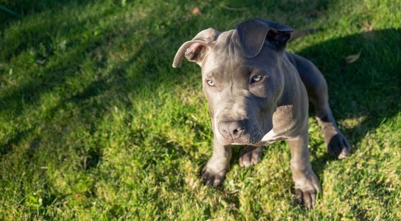 Blue Pittie prone to skin sensitivity