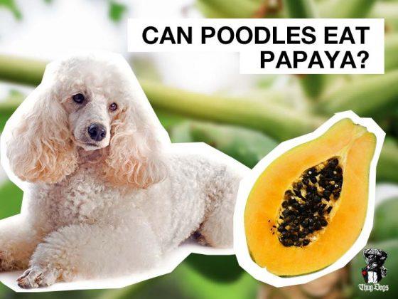 Can Poodles eat Papaya?