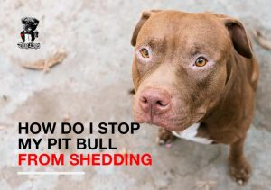 How do I stop my Pit Bull shedding