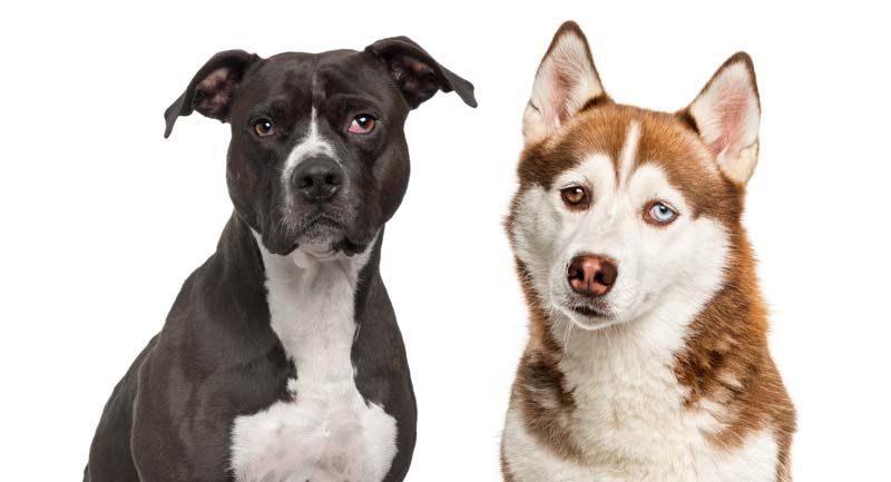 Pit Bull shedding vs Husky shedding