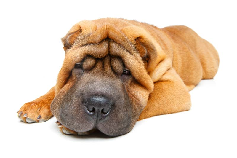 Shar Pei is the best apartment guard dog